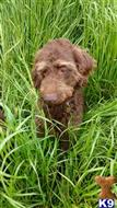 labradoodle puppy posted by y1den