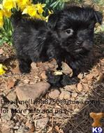 havanese puppy posted by yalomek