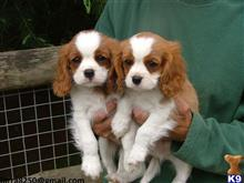 cavalier king charles spaniel puppy posted by yasosew196