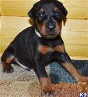 doberman pinscher puppy posted by yeroho3272
