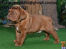 dogue de bordeaux puppy posted by yihoje8635