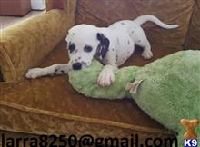 dalmatian puppy posted by yirasa6870