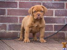 dogue de bordeaux puppy posted by ymrtvbwa