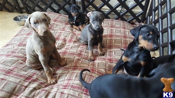 YorkshireDobermans Picture 1