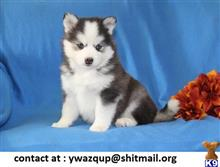 siberian husky puppy posted by ywazqup