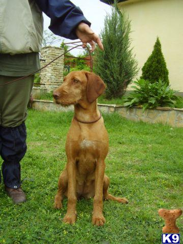 Adult Vizsla For Sale 40