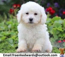 bichon frise puppy posted by zutn7hx