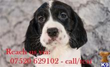 english springer spaniel puppy posted by zxdgbgtgrr21